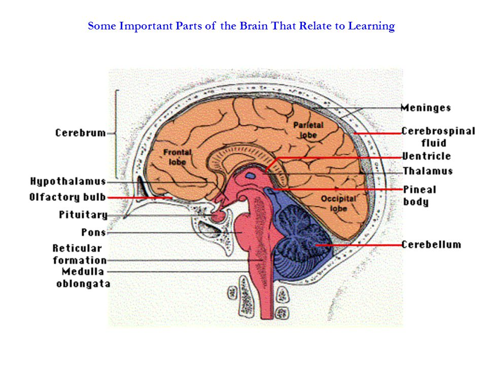 Some Important Parts of the Brain That Relate to Learning