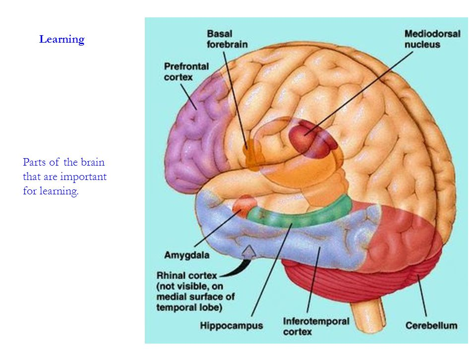 Learning Parts of the brain that are important for learning.