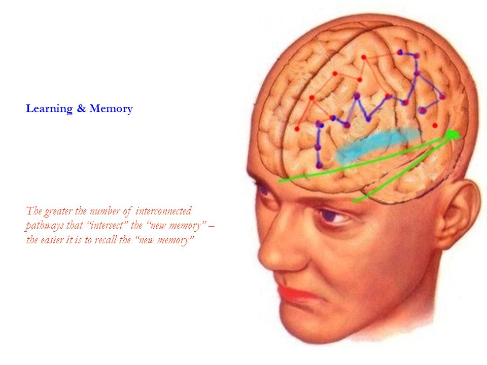 Learning & Memory The greater the number of interconnected pathways that intersect the new memory – the easier it is to recall the new memory