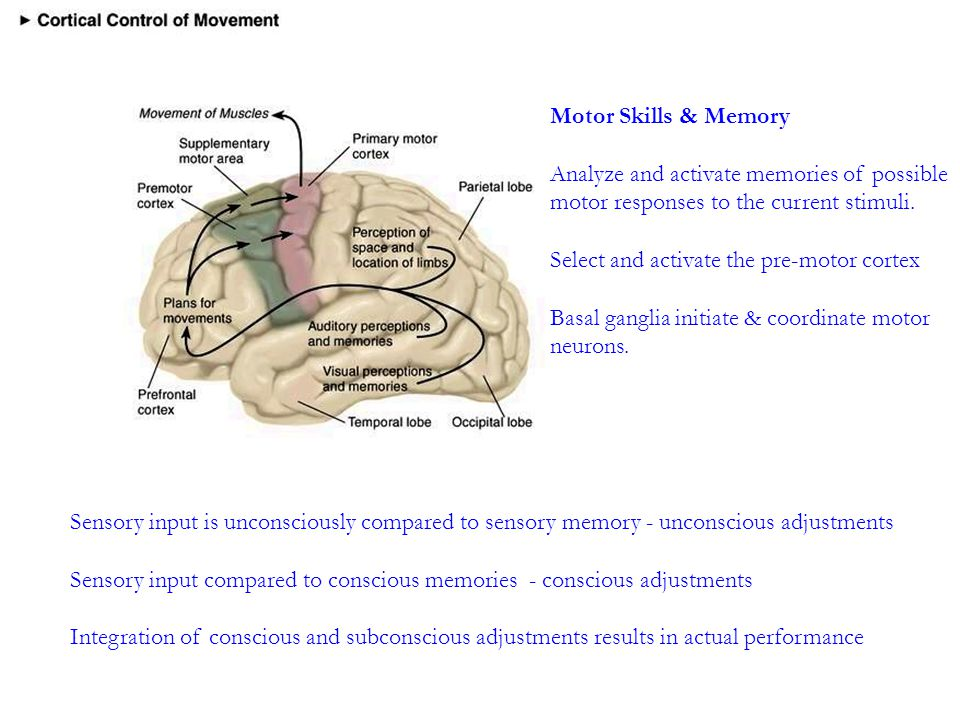 Motor Skills & Memory Analyze and activate memories of possible motor responses to the current stimuli.