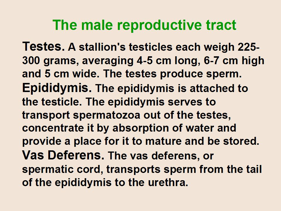 Testes. A stallion's testicles each weigh 225- 300 grams, averaging 4-5 cm long, 6-7 cm high and 5 cm wide. The testes produce sperm. Epididymis. The