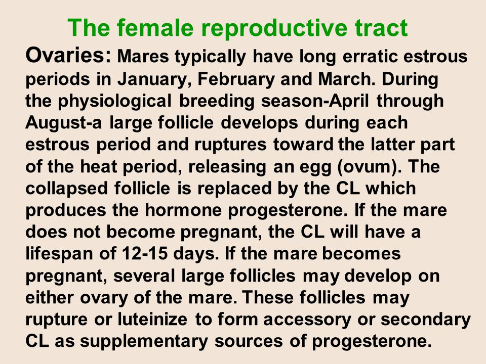 The female reproductive tract Ovaries: Mares typically have long erratic estrous periods in January, February and March. During the physiological bree