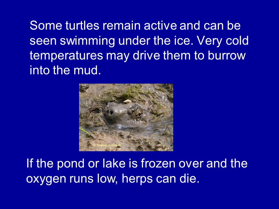 Some turtles remain active and can be seen swimming under the ice.