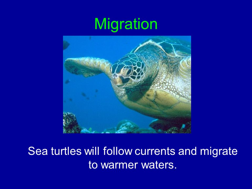 Migration Sea turtles will follow currents and migrate to warmer waters.