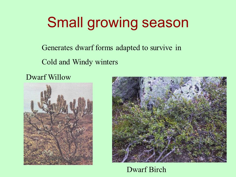 Small growing season Dwarf Willow Dwarf Birch Generates dwarf forms adapted to survive in Cold and Windy winters