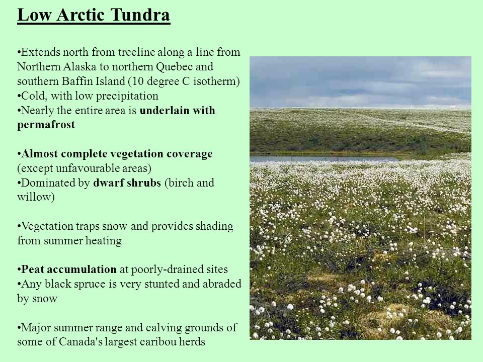 Low Arctic Tundra Extends north from treeline along a line from Northern Alaska to northern Quebec and southern Baffin Island (10 degree C isotherm) Cold, with low precipitation Nearly the entire area is underlain with permafrost Almost complete vegetation coverage (except unfavourable areas) Dominated by dwarf shrubs (birch and willow) Vegetation traps snow and provides shading from summer heating Peat accumulation at poorly-drained sites Any black spruce is very stunted and abraded by snow Major summer range and calving grounds of some of Canada s largest caribou herds