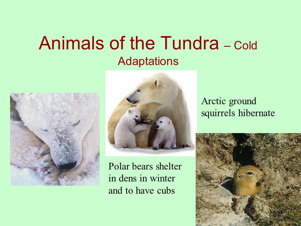 Animals of the Tundra – Cold Adaptations Polar bears shelter in dens in winter and to have cubs Arctic ground squirrels hibernate