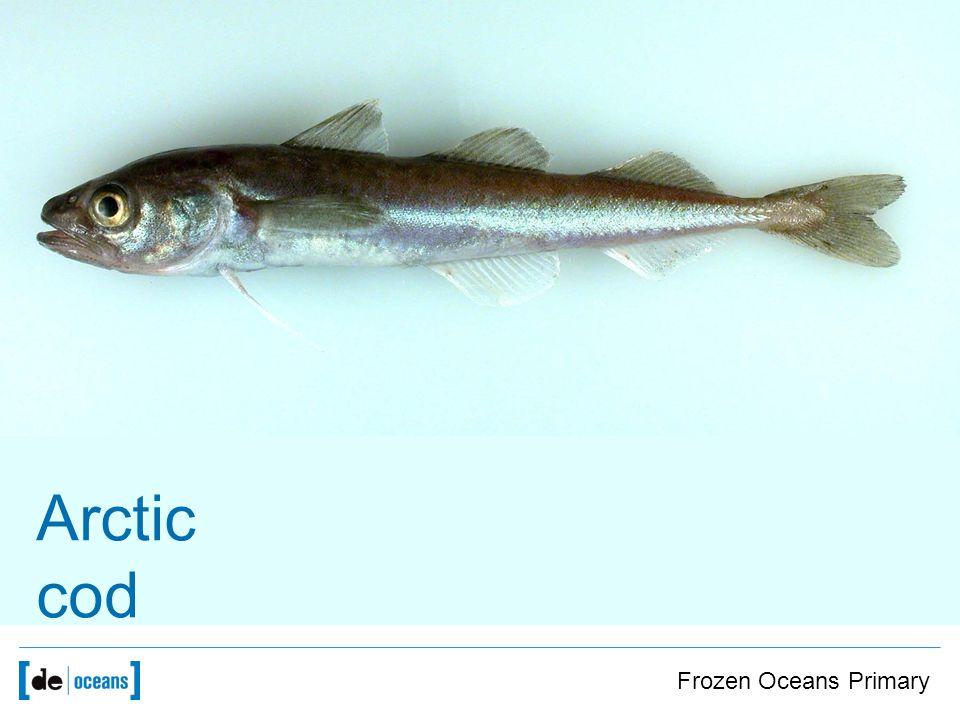 Arctic cod Frozen Oceans Primary