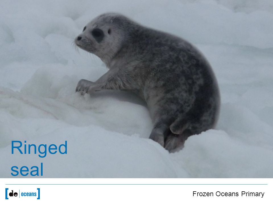 Image of seals Ringed seal Frozen Oceans Primary
