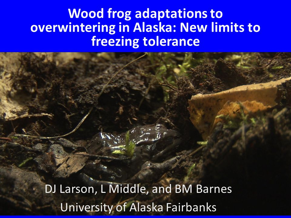 We hypothesize that naturally frozen wood frogs have higher concentrations of glucose than linear, laboratory wood frogs due to freeze-thaw cycling.