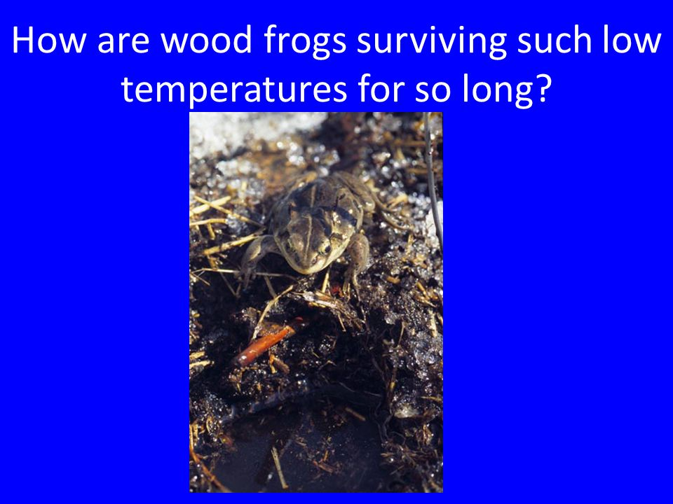 How are wood frogs surviving such low temperatures for so long?
