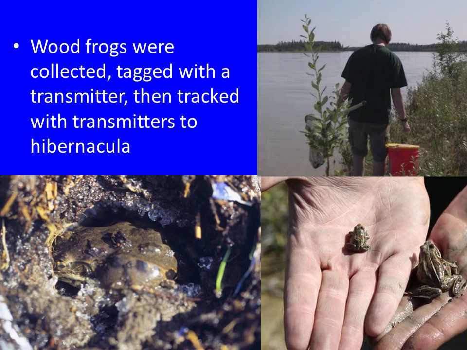 Wood frogs were collected, tagged with a transmitter, then tracked with transmitters to hibernacula