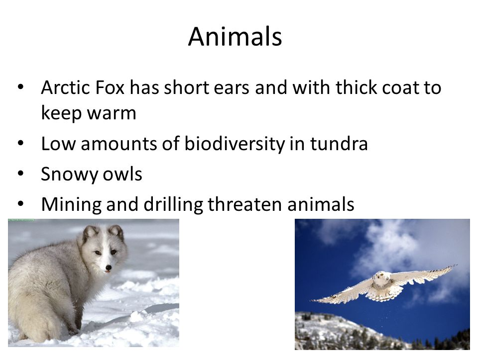 Animals Arctic Fox has short ears and with thick coat to keep warm Low amounts of biodiversity in tundra Snowy owls Mining and drilling threaten animals