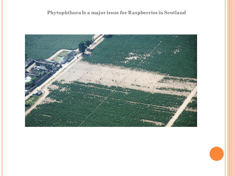 Phytophthora Is a major issue for Raspberries in Scotland