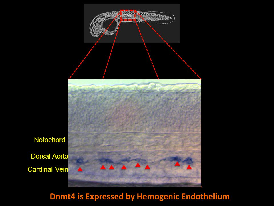 Notochord Dorsal Aorta Cardinal Vein Dnmt4 is Expressed by Hemogenic Endothelium