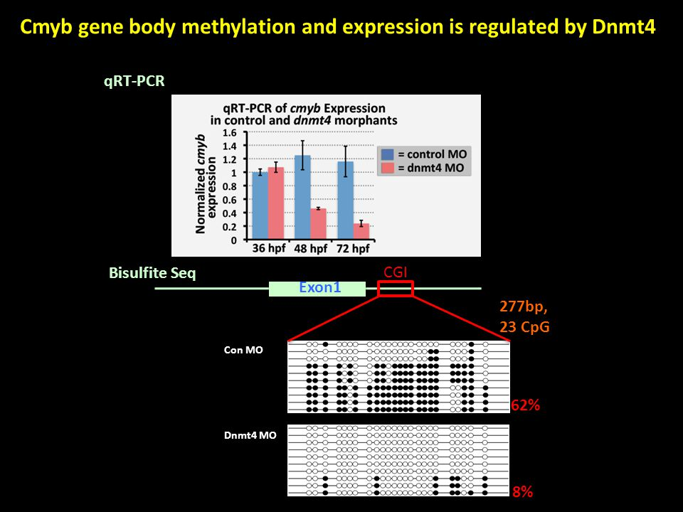 Exon1 CGI 62% 8% 277bp, 23 CpG Con MO Dnmt4 MO Cmyb gene body methylation and expression is regulated by Dnmt4 qRT-PCR Bisulfite Seq