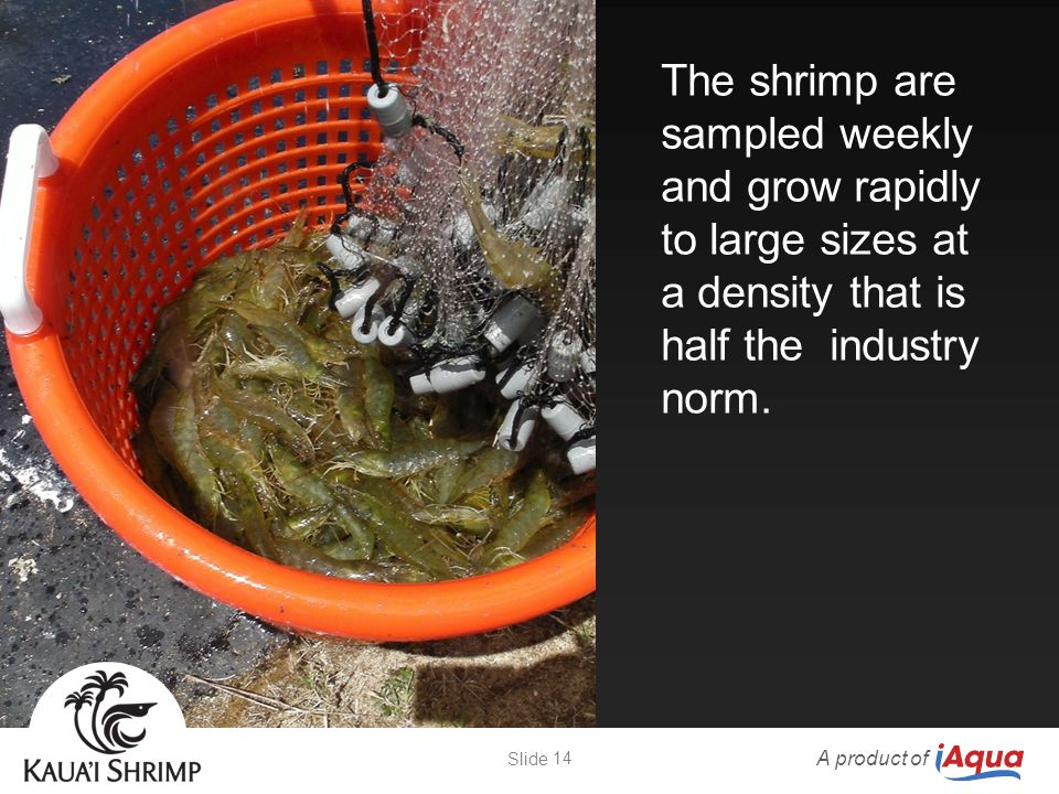 The shrimp are sampled weekly and grow rapidly to large sizes at a density that is half the industry norm. A product of 14 Slide