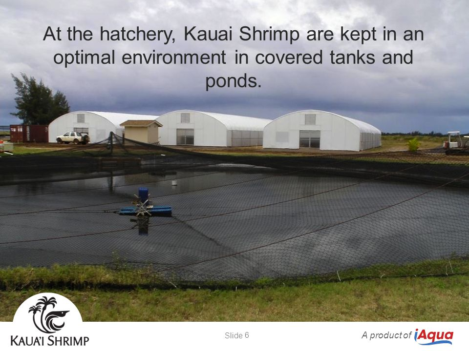 At the hatchery, Kauai Shrimp are kept in an optimal environment in covered tanks and ponds. A product of 6 Slide