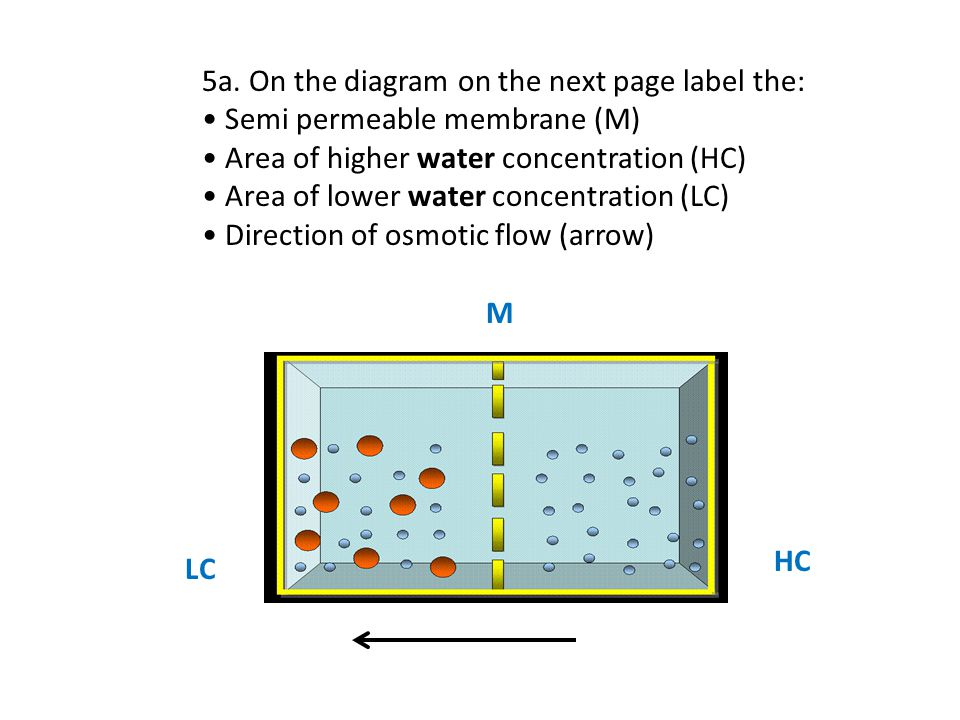 5a. On the diagram on the next page label the: Semi permeable membrane (M) Area of higher water concentration (HC) Area of lower water concentration (