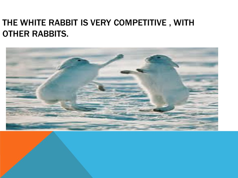 THE WHITE RABBIT IS VERY COMPETITIVE, WITH OTHER RABBITS.