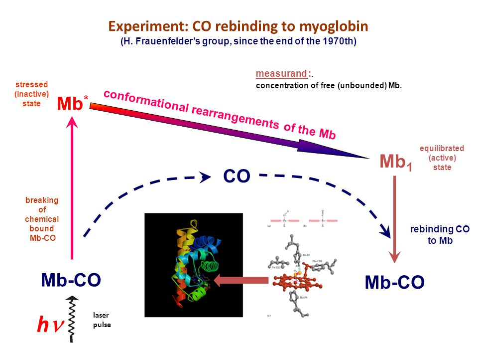 h Experiment: CO rebinding to myoglobin (H. Frauenfelder's group, since the end of the 1970th) Mb-CO measurand :. concentration of free (unbounded) Mb