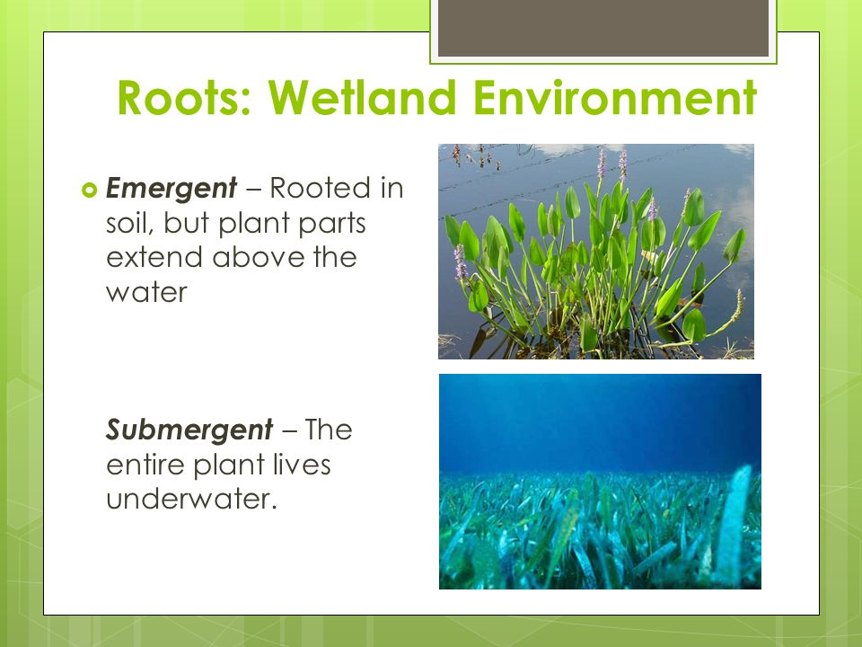 Roots: Wetland Environment  Emergent – Rooted in soil, but plant parts extend above the water Submergent – The entire plant lives underwater.