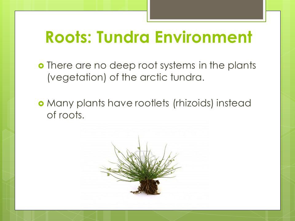 Roots: Tundra Environment  There are no deep root systems in the plants (vegetation) of the arctic tundra.  Many plants have rootlets (rhizoids) ins