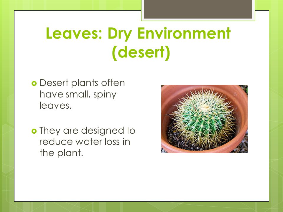 Leaves: Dry Environment (desert)  Desert plants often have small, spiny leaves.  They are designed to reduce water loss in the plant.