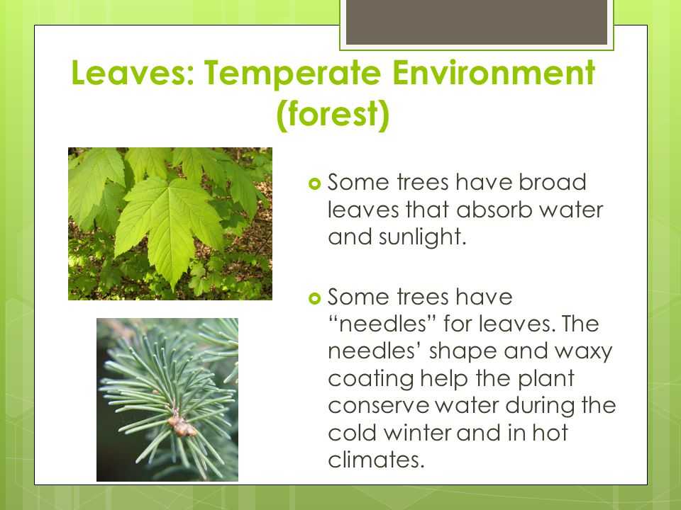 """Leaves: Temperate Environment (forest)  Some trees have broad leaves that absorb water and sunlight.  Some trees have """"needles"""" for leaves. The need"""