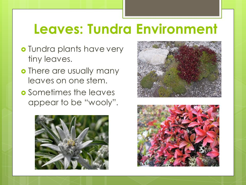 """Leaves: Tundra Environment  Tundra plants have very tiny leaves.  There are usually many leaves on one stem.  Sometimes the leaves appear to be """"wo"""