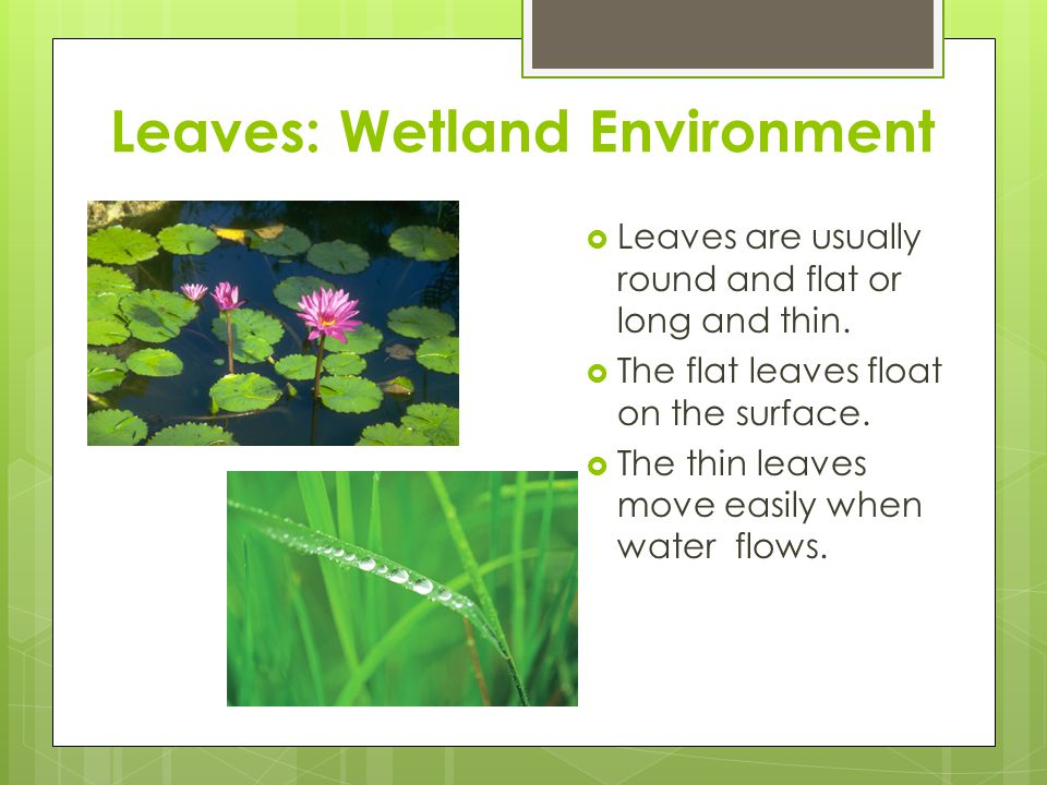 Leaves: Wetland Environment  Leaves are usually round and flat or long and thin.  The flat leaves float on the surface.  The thin leaves move easil