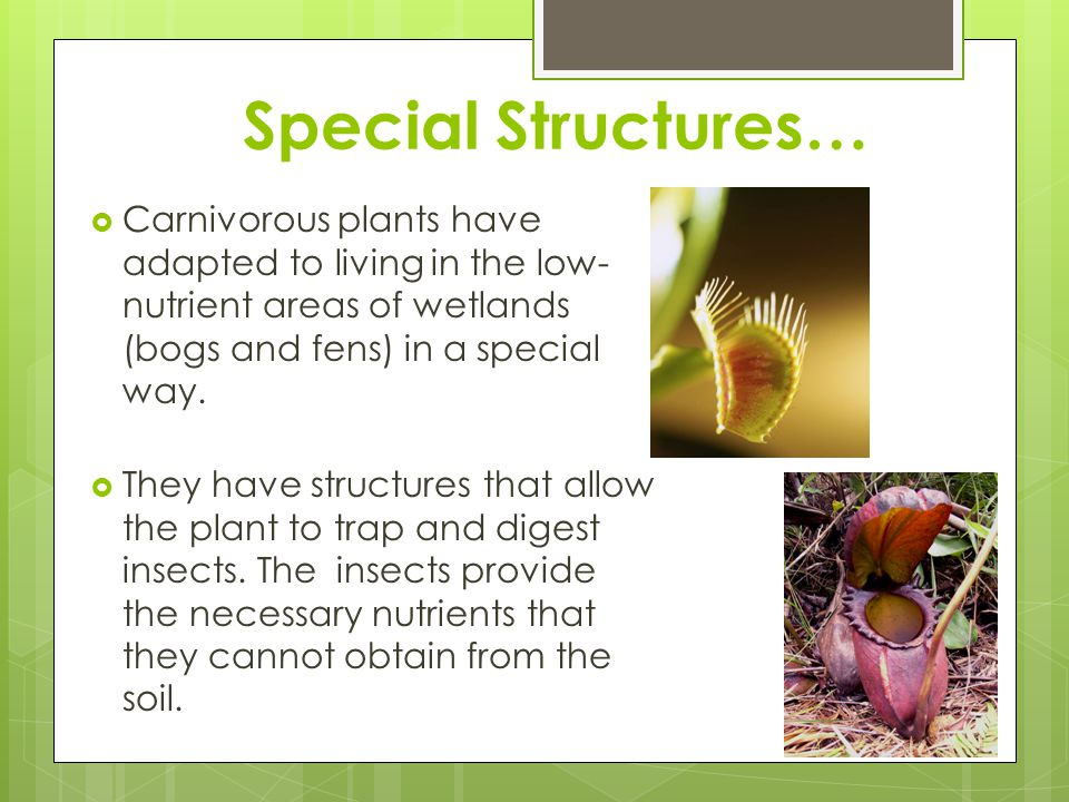 Special Structures…  Carnivorous plants have adapted to living in the low- nutrient areas of wetlands (bogs and fens) in a special way.  They have s