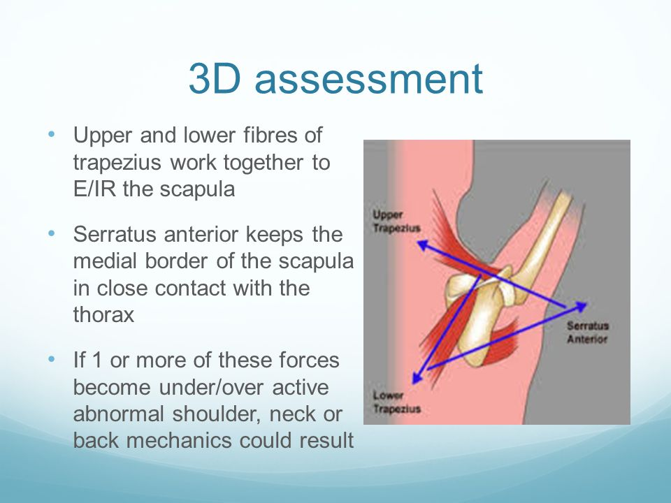 3D assessment Upper and lower fibres of trapezius work together to E/IR the scapula Serratus anterior keeps the medial border of the scapula in close