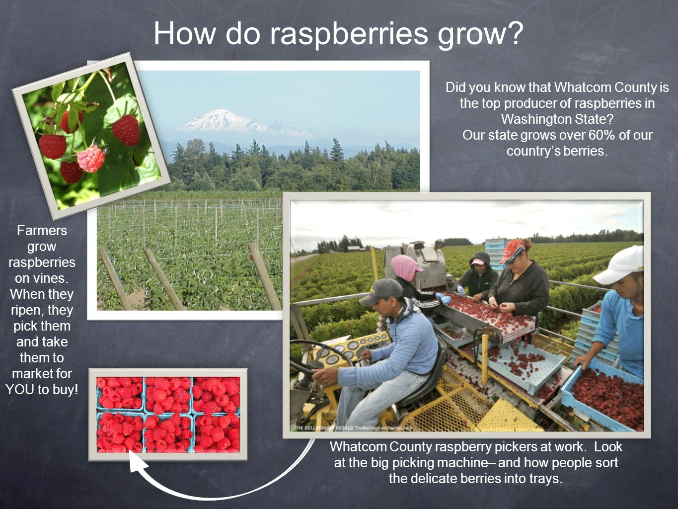 How do raspberries grow? Farmers grow raspberries on vines. When they ripen, they pick them and take them to market for YOU to buy! Did you know that