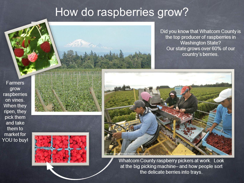 Raspberry Nutrition Raspberries belong in the rose family.