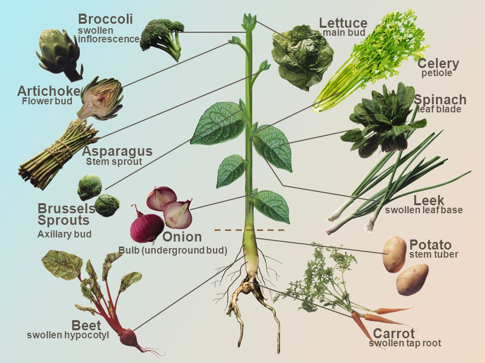 Spinach leaf blade Leek swollen leaf base Potato stem tuber Carrot swollen tap root Beet swollen hypocotyl Onion Bulb (underground bud) Brussels Sprouts Axillary bud Asparagus Stem sprout Artichoke Flower bud Broccoli swollen inflorescence Celery petiole Lettuce main bud