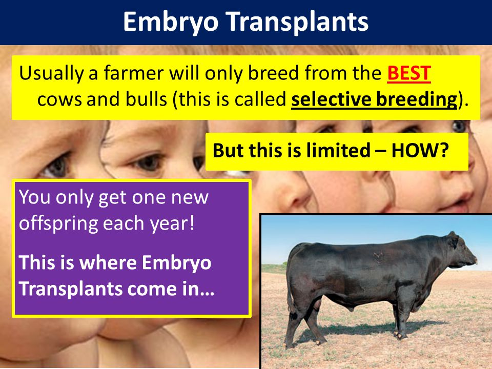Embryo Transplants Usually a farmer will only breed from the BEST cows and bulls (this is called selective breeding).