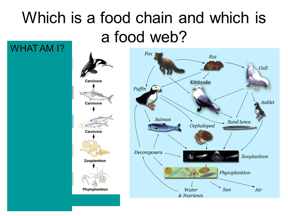 Which is a food chain and which is a food web? WHAT AM I?