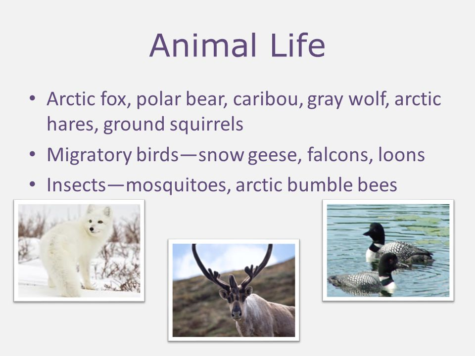 Animal Life Adaptations – Fat insulation and thick fur coats – Migration – Hibernation – Breed and raise young quickly