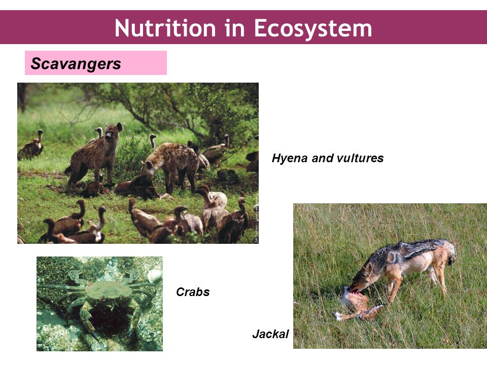 Hyena and vultures Jackal Crabs Scavangers Nutrition in Ecosystem