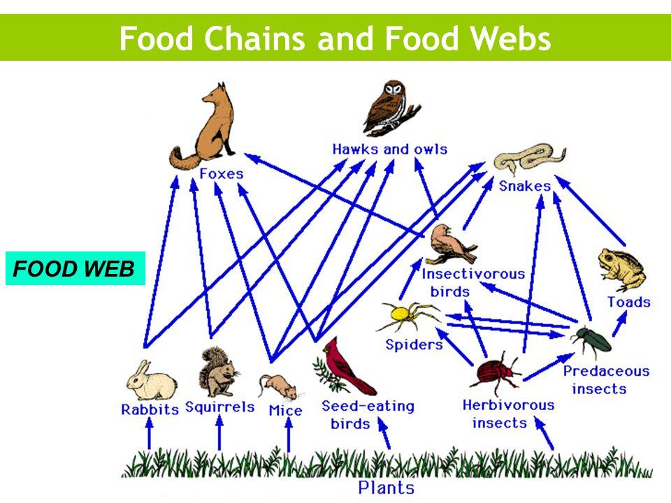 Food Chains and Food Webs FOOD WEB