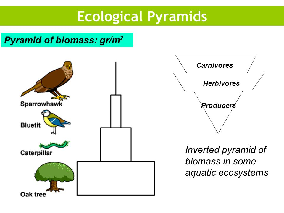 Producers Herbivores Carnivores Inverted pyramid of biomass in some aquatic ecosystems Ecological Pyramids Pyramid of biomass: gr/m 2