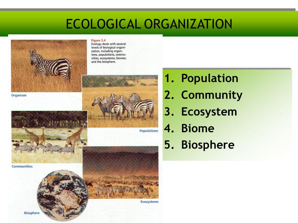 ECOLOGICAL ORGANIZATION 1.Population 2.Community 3.Ecosystem 4.Biome 5.Biosphere
