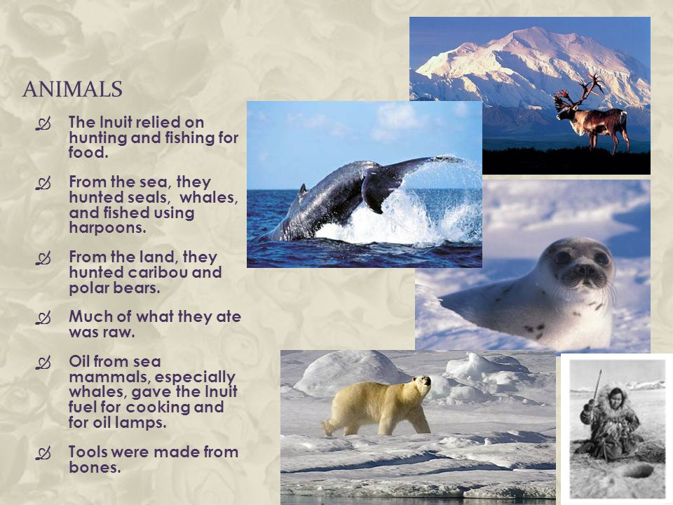 ANIMALS  The Inuit relied on hunting and fishing for food.  From the sea, they hunted seals, whales, and fished using harpoons.  From the land, the