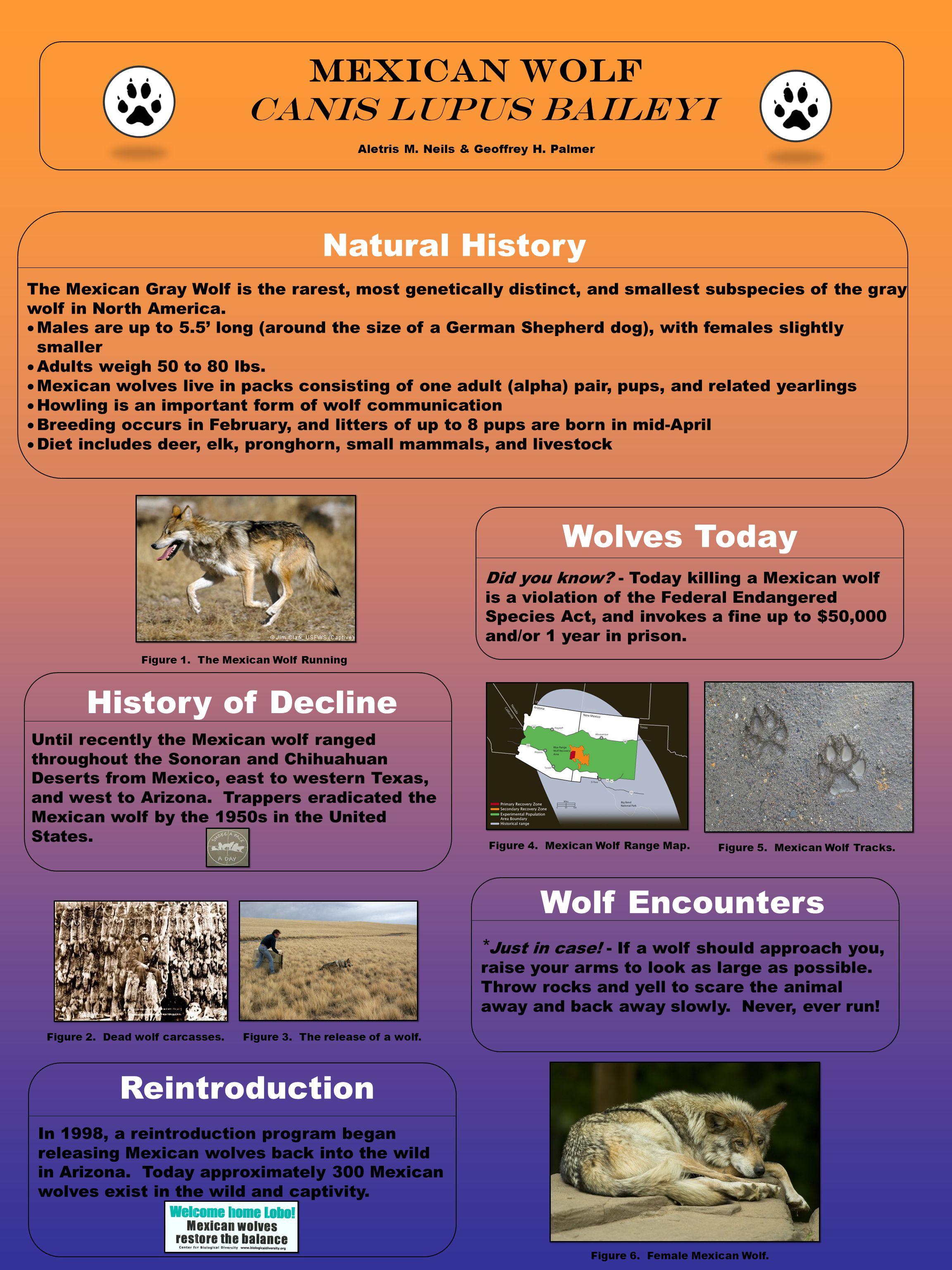 Mexican wolf Canis lupus baileyi Aletris M. Neils & Geoffrey H.