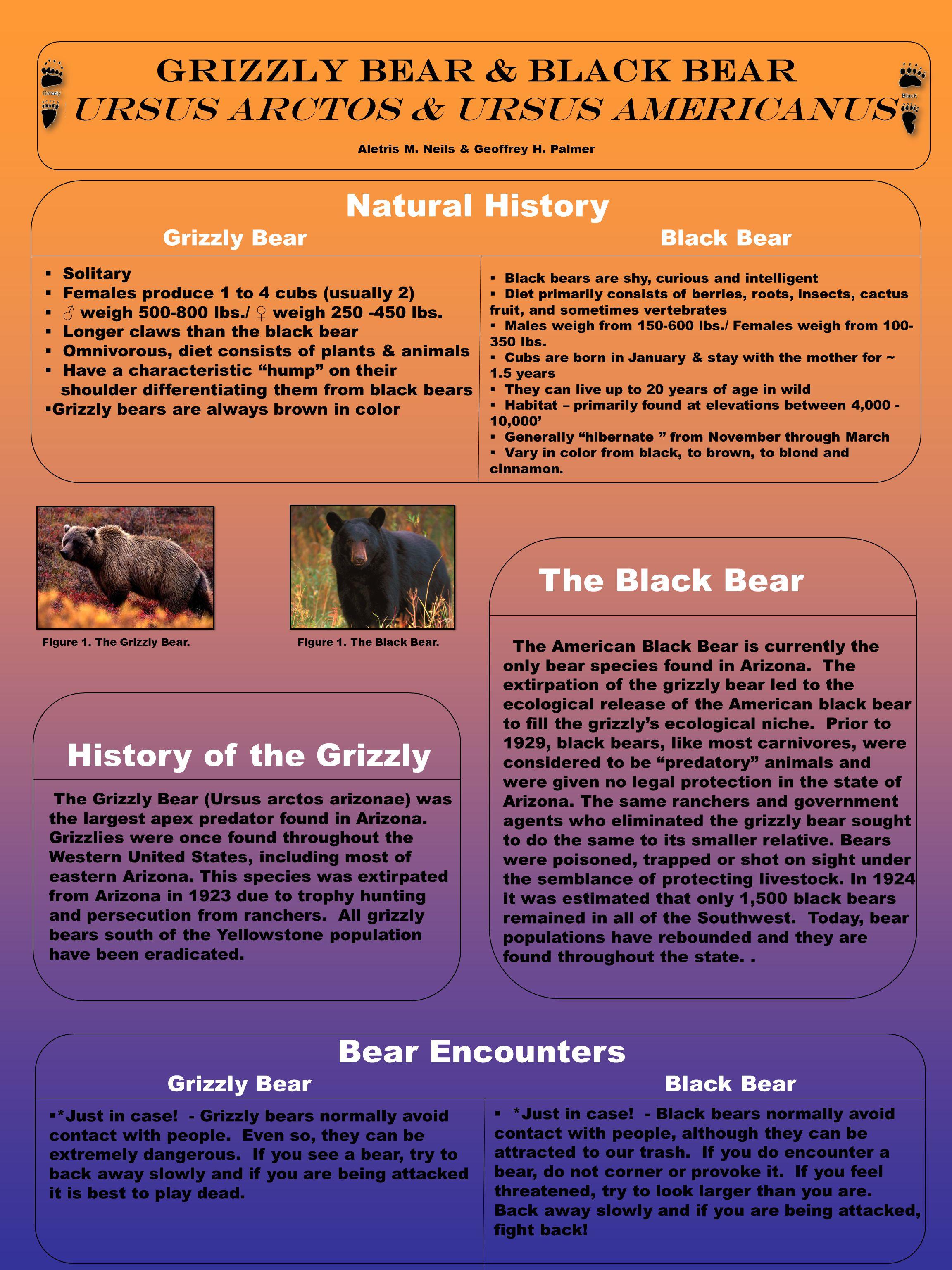 Grizzly bear & Black bear Ursus arctos & ursus americanus Aletris M.