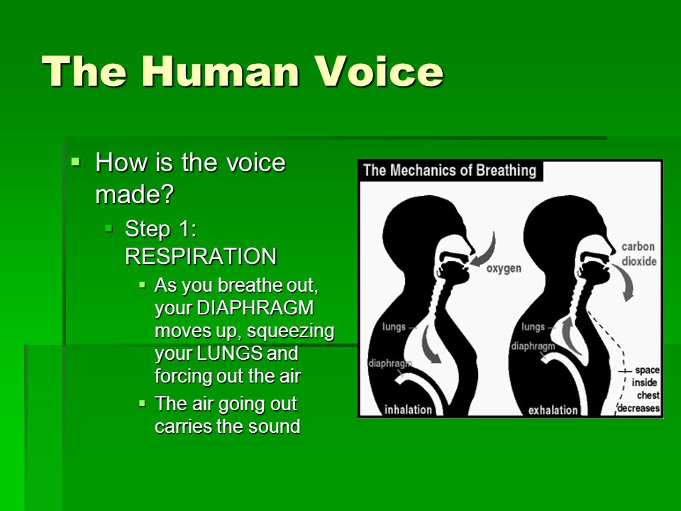 The Human Voice  How is the voice made.