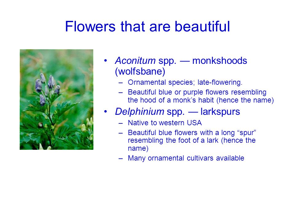 Flowers that are beautiful Aconitum spp. — monkshoods (wolfsbane) –Ornamental species; late-flowering. –Beautiful blue or purple flowers resembling th