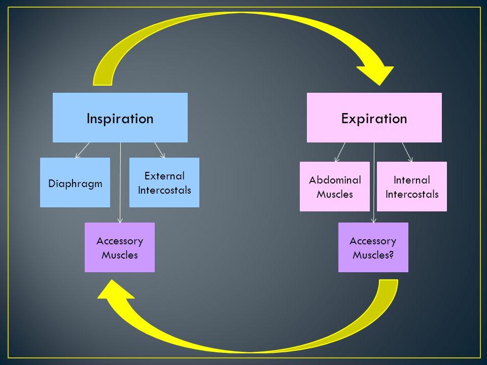 Expiration Abdominal Muscles Internal Intercostals Inspiration Diaphragm External Intercostals Accessory Muscles Accessory Muscles