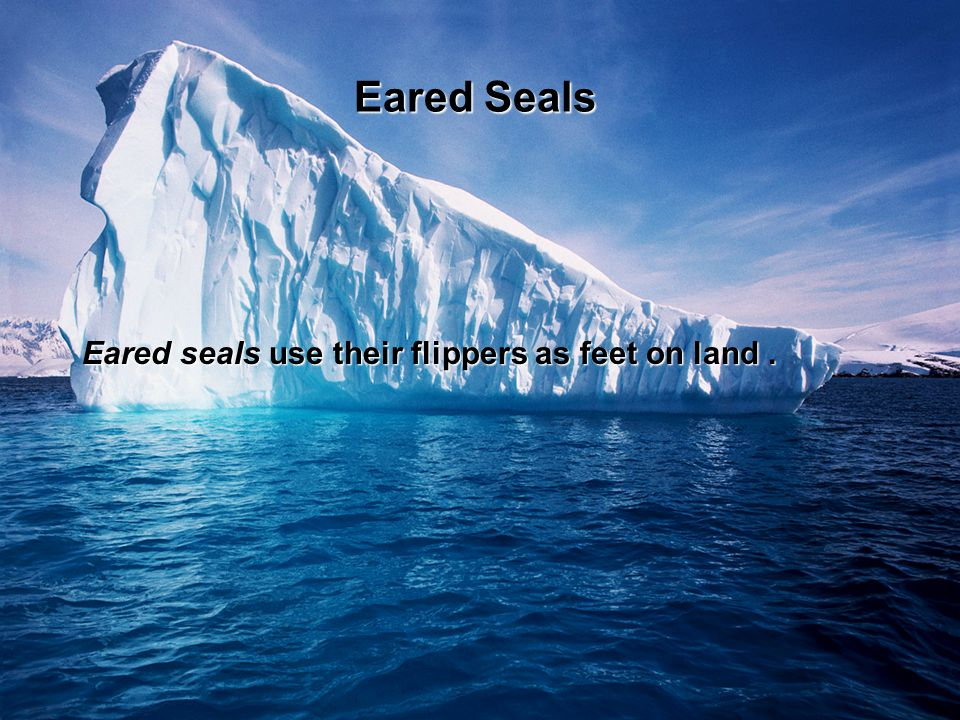 Eared seals use their flippers as feet on land. Eared Seals